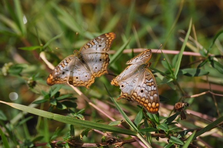 dual: Dual Florida Brown Butterfies