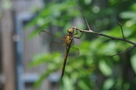 darter: Common Darter Dragonfly