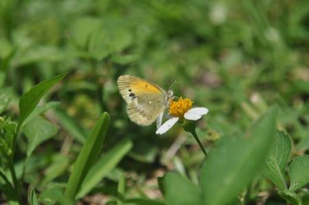 dainty: Dainty Sulphur Butterfly
