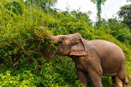 An elephant eats at jungle in Chiang Mai Thailand Фото со стока