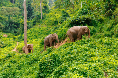 Three elephants walk at the jungle in Chiang Mai Thailand