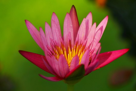 far eastern: Lotus