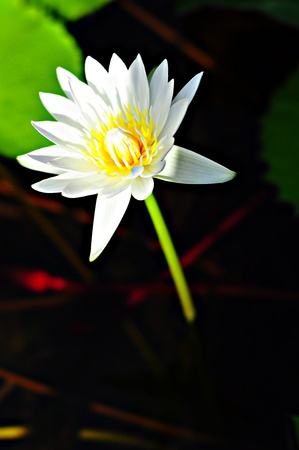 White lotus. photo