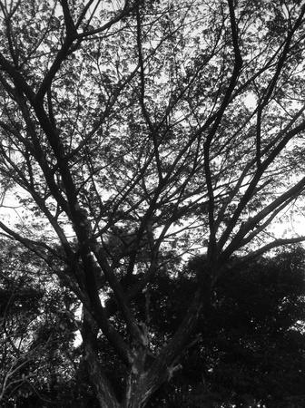 large trees: Large trees