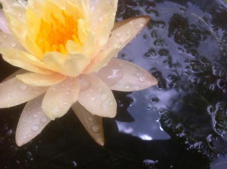 white: White Lotus in Thailand