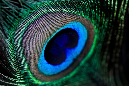 peacock feather, macro shot
