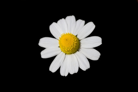 chamomile flower: Loves me, loves me not... daisy in springtime, shallow D.o.F. , on black background