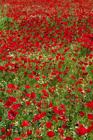 God is a painter and he loves red... Poppies field (vertical) photo