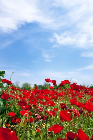 Poppies field under the blue sky of  Greece (XXXL) Stock Photo