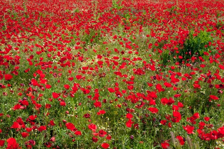 God is a painter and he loves red... Poppies field  (horizontal) photo