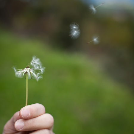 Spreading the seeds. Hand holding a Dandelion photo