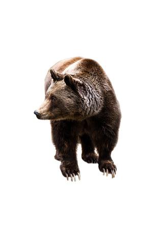 grizzly: Jeune ours isolé sur fond blanc