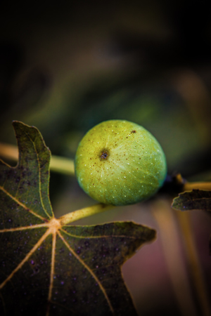 Fresh Green Fig on the Tree with leafs, close up