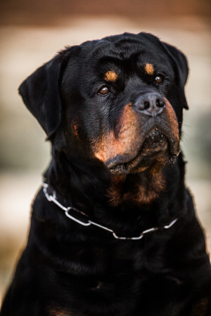 Adorable Devoted Purebred Rottweiler, Close up head shot