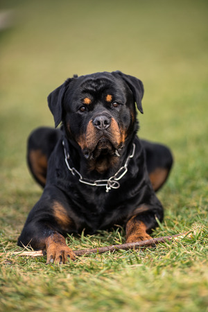 Adorable Devoted Purebred Rottweiler, Laying on Grass Stock Photo