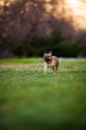Adoreable Nine Months Old Purebred French Bulldog at Park playing with stick, shots using rare lens with extreme shallow depth of field