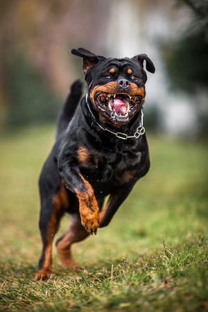 Adorable Devoted Purebred Rottweiler Running fast, giving the impression of Attacting Stock Photo