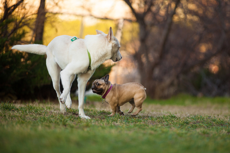Adoreable Nine Months Old Purebred French Bulldog at Park playing with big white dog, shots using rare lens with extreme shallow depth of field