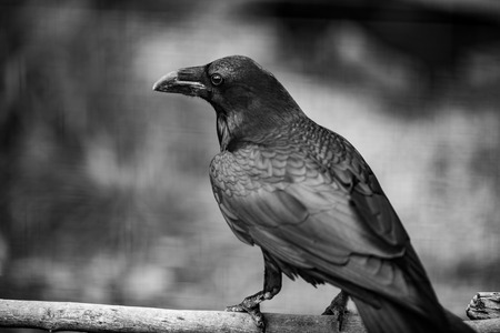 Portrait of a Crow, in Black And white photo, one of the most intelligent creacure on the plane, Close up
