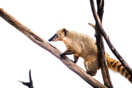 Ring tailed coati,  Nasua nasua, climbing on wood, white background