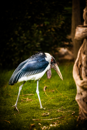 Marabou Stork, Leptoptilos Crumenifer, close up
