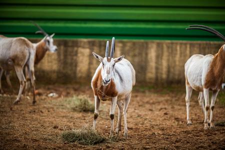 Scimitar Horned Oryx, Close up