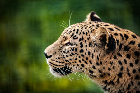 Persian Leopard, close up Face Portrait, on natural green background