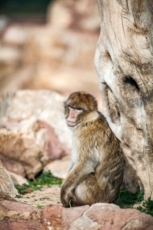 Barbary Macaque monkey, Close up