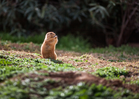 Cute Black tailed prairie dog, standing and eating in the sun