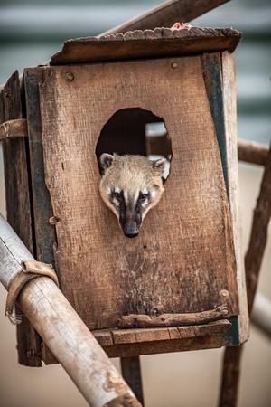 Ring tailed coati,  Nasua nasua, inside wooden home
