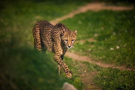 Beautiful Wild Cheetah, Close up