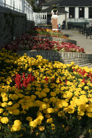 Beautiful Colored Flowers in Cobh, Ireland Banque d'images