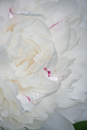 Beautiful white peony with water drops and red highlights. Floral background