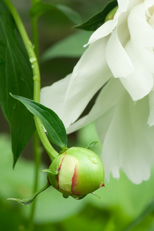 Beautiful white peony bud with water drops and red highlights.