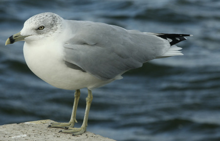Close up of seagull standing on concrete over water