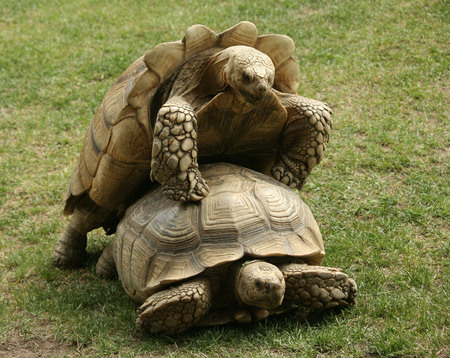 One tortoise trying to eat while another trying to mate