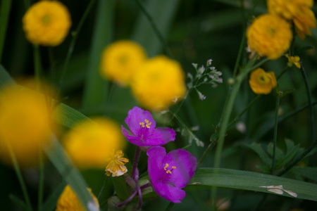 Colorful Purple Flowers with Blurred Background of Yellow Flowers Banque d'images