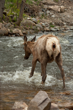 Elk Crossing Rushing Rushing Stream Banque d'images