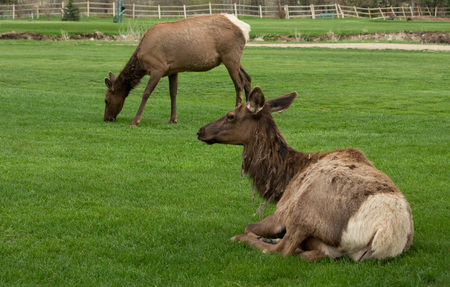 Elk Resting and Grazing Banque d'images