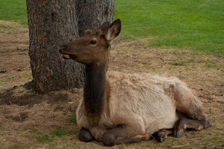 Female Elk Resting Banque d'images