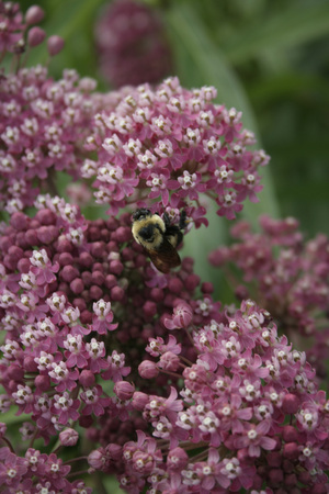 Bumble Bee on Beautiful Purple and White Flowers