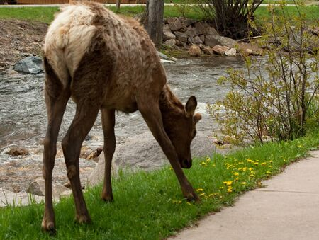 Young Elk Eating Cross Near Stream and Walking Path