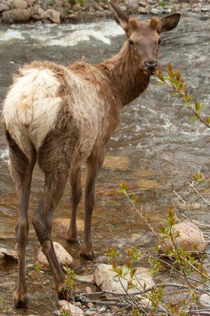 Elk Looking over Before Crossing Stream