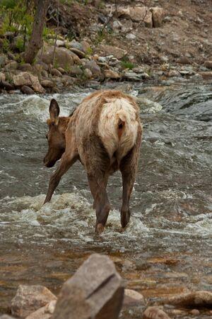 Young Elk Feeling Water Before Crossing Stream