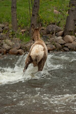 Young Elk Crossing Rushing River Banque d'images
