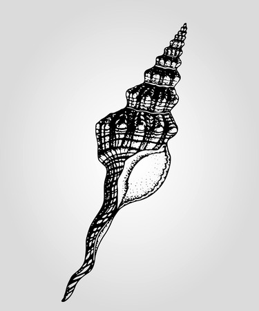 conical: Hand drawn vintage conical sea shell Illustration
