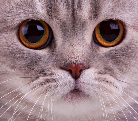 occhi grandi: Closeup di gatti faccia Archivio Fotografico