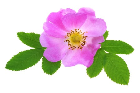 Rosa canina isolato su sfondo bianco