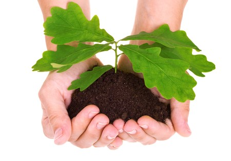 hand tree: Concept of a young oak tree in woman hands isolated on white background