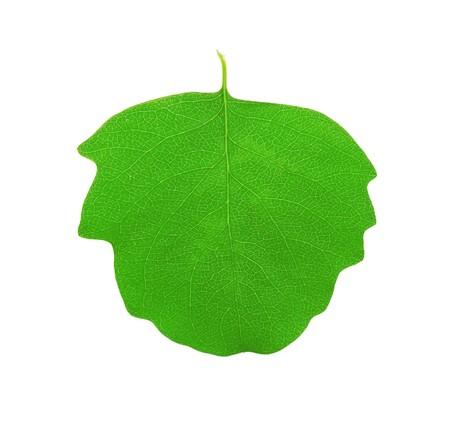 aspen leaf: Green aspen leaf isolated on white background Stock Photo